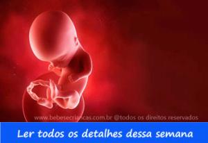 A formação do bebê semana a semana - 14 semanas de gravidez - Acompanhe sua gravidez semana a semana
